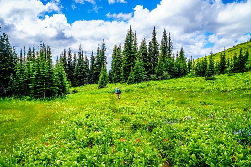 Koppla ihop att fotvandra till och med de alpina ängarna för berget med lösa blommor på Tod Mountain royaltyfri bild