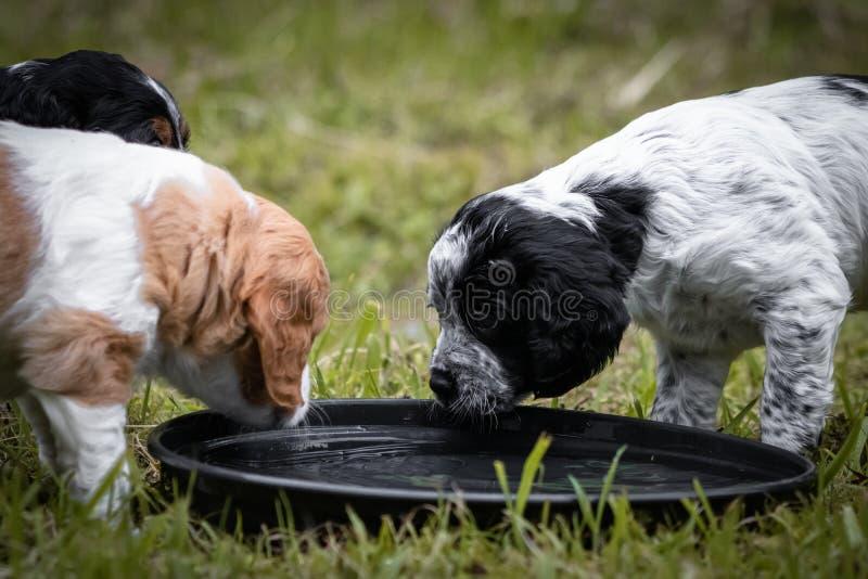 Koppla ihop av lyckligt behandla som ett barn dricksvatten för den hundkapplöpningbrittany spanieln royaltyfria foton