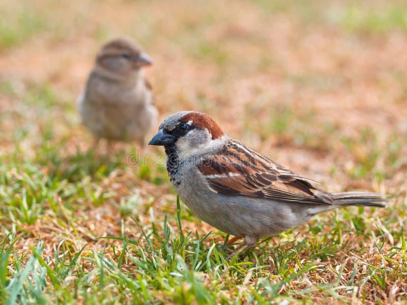 Koppla ihop av sparrow fotografering för bildbyråer
