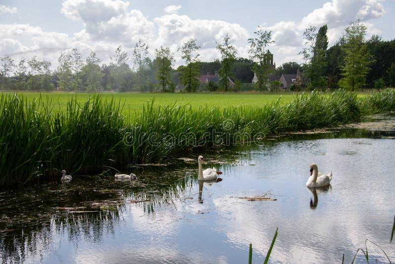 Koppla ihop av svanar med ung simning i en kanal till och med lantgårdfälten royaltyfria foton