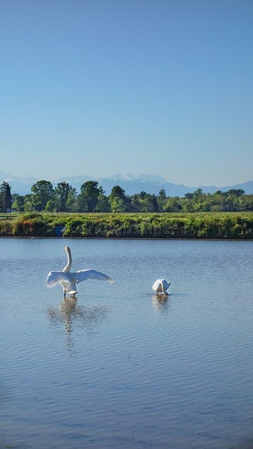 Koppla ihop av svanar som tycker om tid i en risf?lt fotografering för bildbyråer