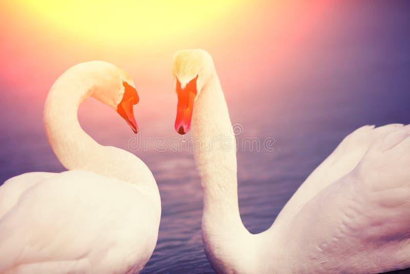 Koppla ihop av swans arkivbilder