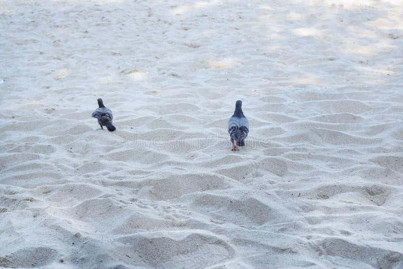 Koppla ihop duvan som går på sandstranden i morgonen arkivfoto