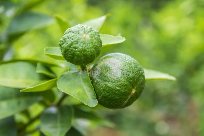 Koppla samman limefrukt på trädet royaltyfri foto