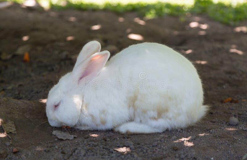 Kopplar av vit kanin för eftermiddagen i trädgård royaltyfria foton