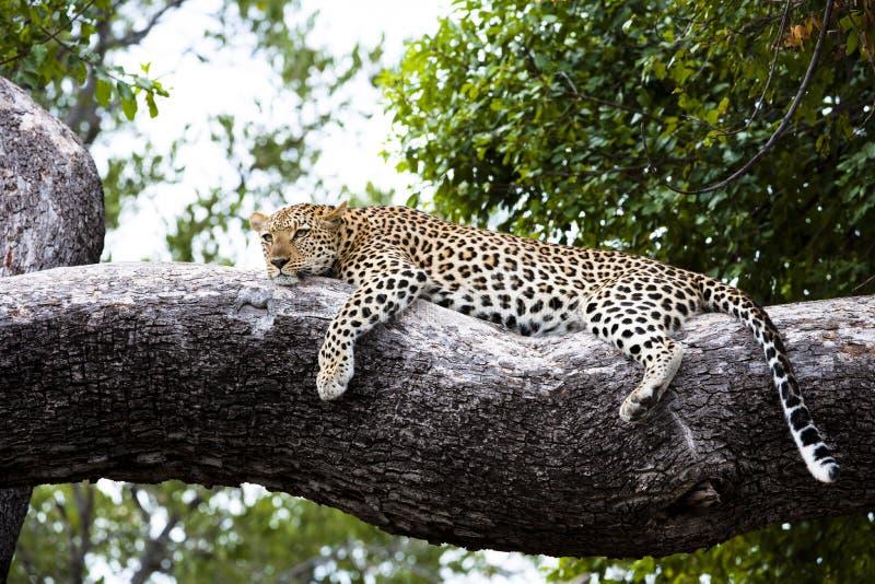 kopplat av ligga för filialleopard arkivfoto