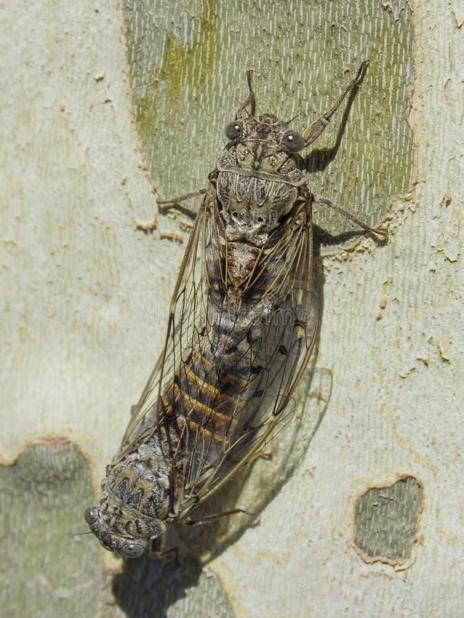 Koppling av två cikador på en platan - sommar i söderna av Frankrike royaltyfria bilder