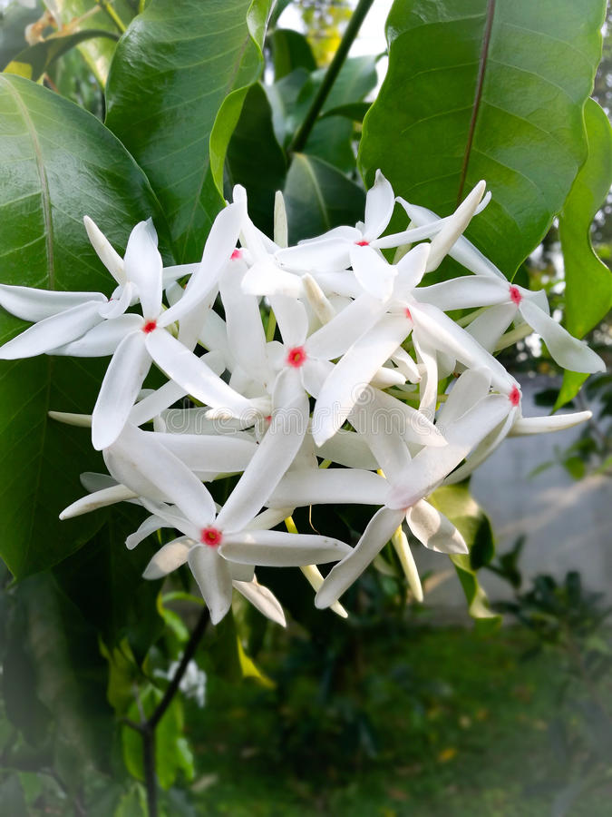 Kopsia arborea Blume royaltyfri fotografi