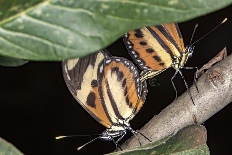 Kopulowanie motyli ekstremum zakończenie up zdjęcia stock
