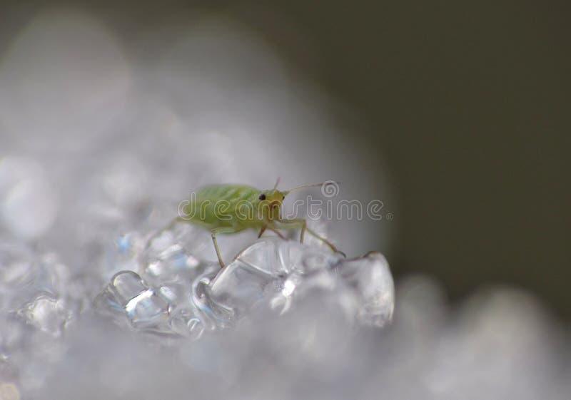 Korówka na lodzie Zjednoczone Królestwo - Makro- fotografia - obraz stock