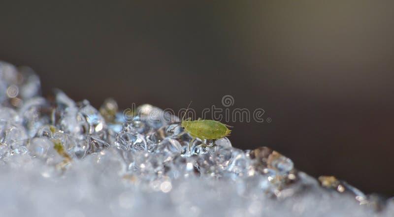 Korówka na lodzie Zjednoczone Królestwo - Makro- fotografia - obrazy stock