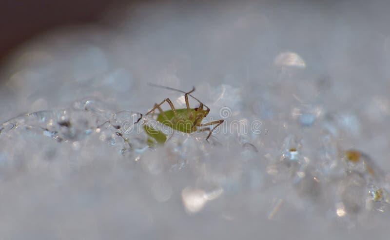 Korówka na lodzie Zjednoczone Królestwo - Makro- fotografia - fotografia royalty free