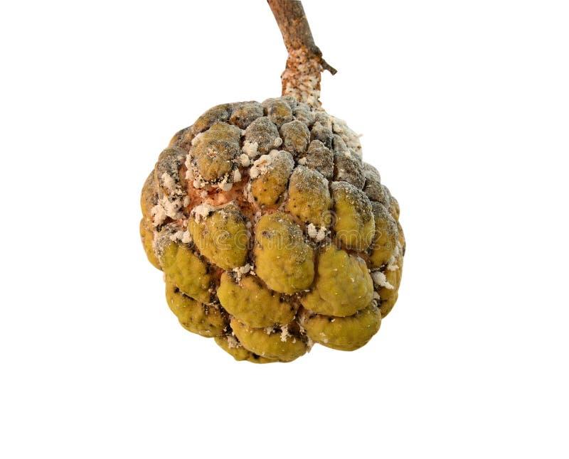 Korówka nieznaczny efekt na custard jabłku obraz royalty free