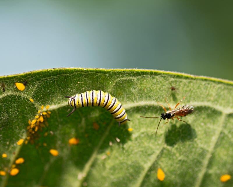 Korówki Aphidoidea superfamily, monarcha Caterpillar i komarnica na pospolitej trojeści, leaf zdjęcia royalty free