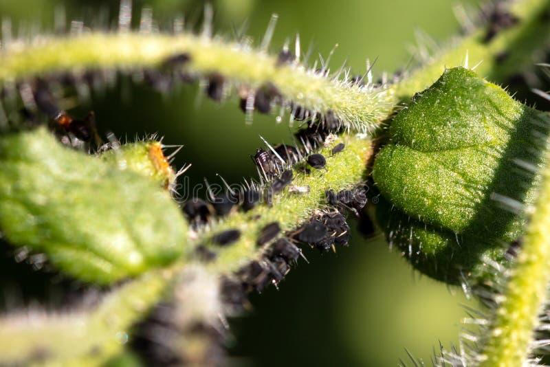 Korówki lub rośliien wszy atakują zielonej rośliny przy ogródem, darmozjada infestation obrazy royalty free