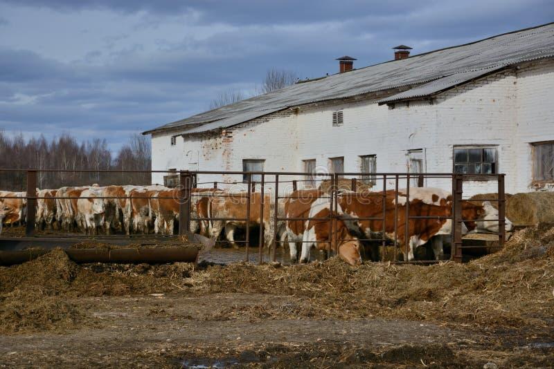 Kor äter ett hö på boskaplantgård i Ryssland royaltyfri bild