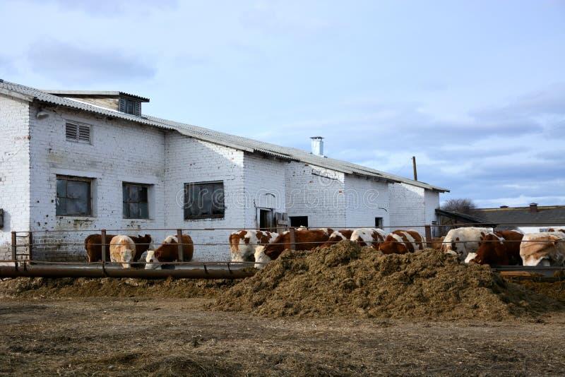 Kor äter ett hö på boskaplantgård i Ryssland arkivbilder