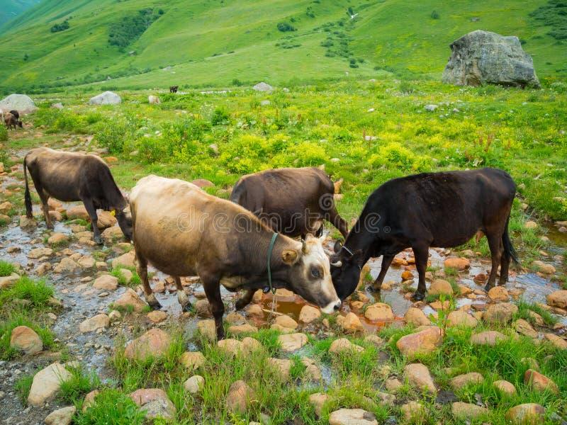 Kor betar i dalfloden Enguri i Svaneti arkivfoto