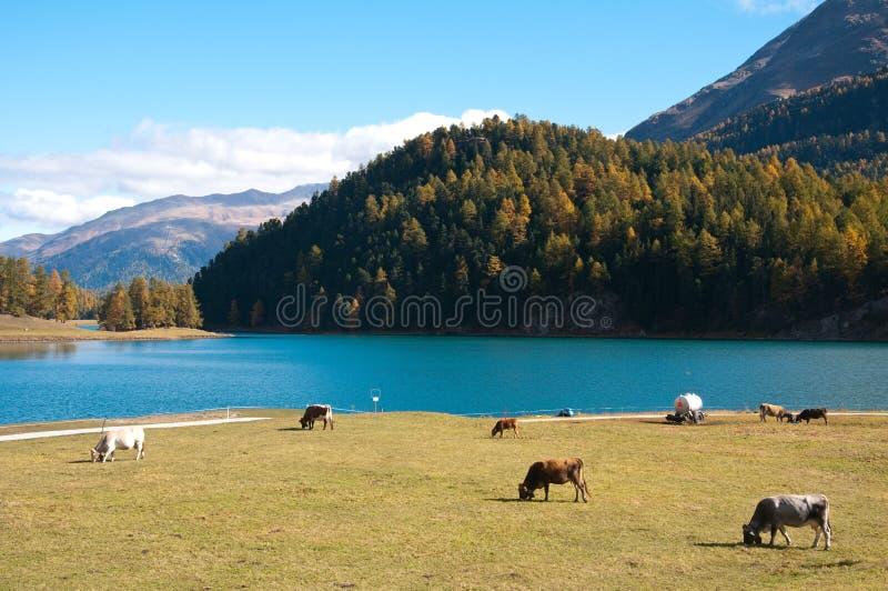 Kor betar nära sjön av St Moritz, Schweiz arkivfoton