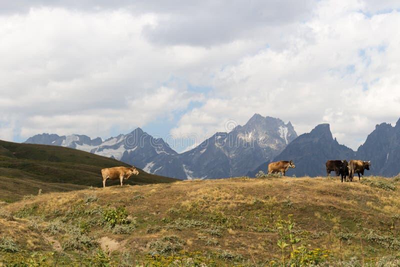 Kor betar på en bergssida i Svaneti royaltyfri fotografi