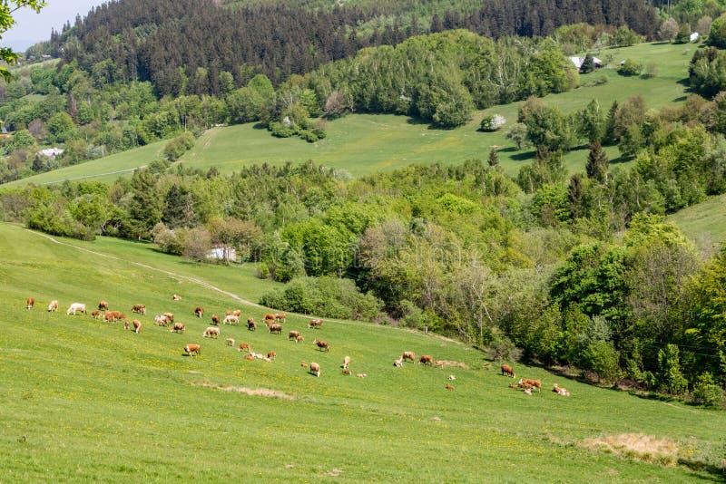 Kor betar på - fjädra landskapet i vita Carpathians kullar arkivbild