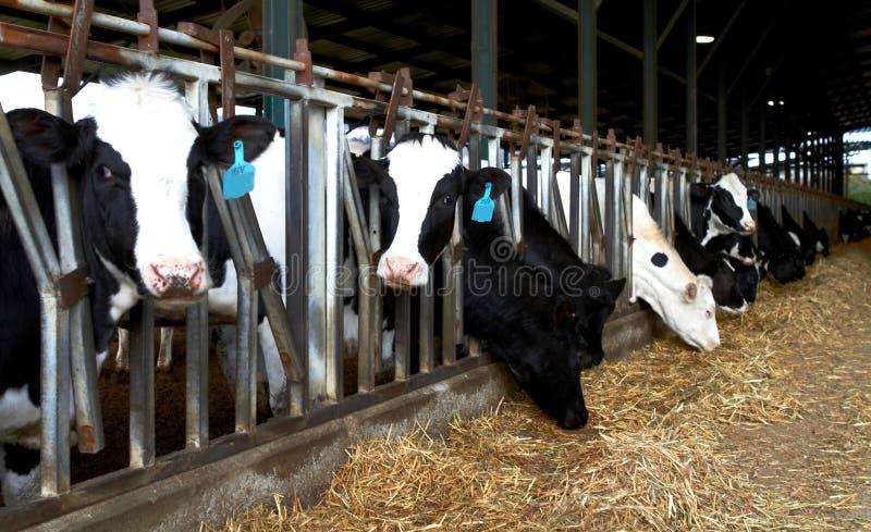 Kor brukar kibbutzer, Israel Spring Feeding royaltyfri bild