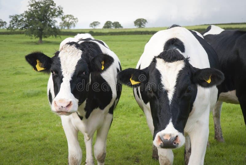 Kor för mejerilantgård i UK royaltyfria foton