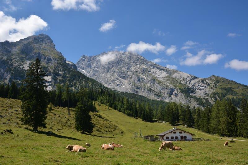 Kor framme av det Watzmann berget royaltyfria foton