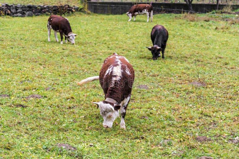 Kor i alpin äng nära Monte Rosa under höst royaltyfria foton