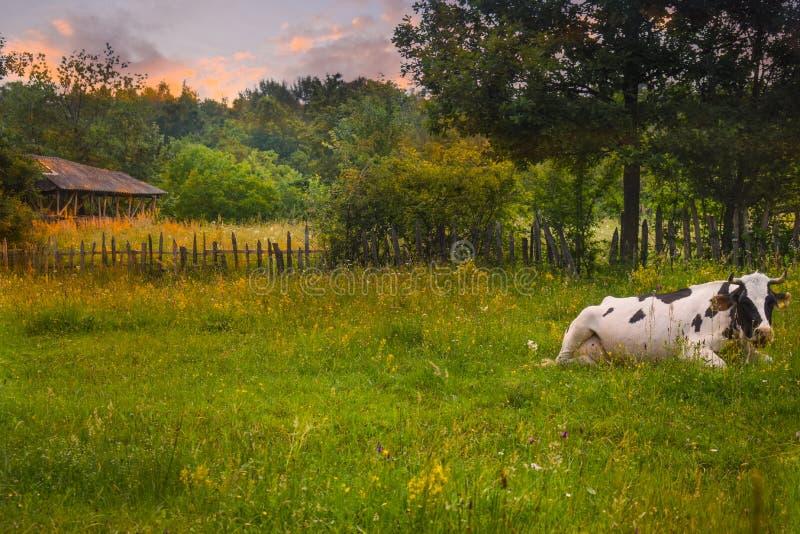 Kor, i att vila position på den gröna ängen på solnedgången Utformat lagerföra fotoet med lantligt landskap i Rumänien royaltyfri fotografi