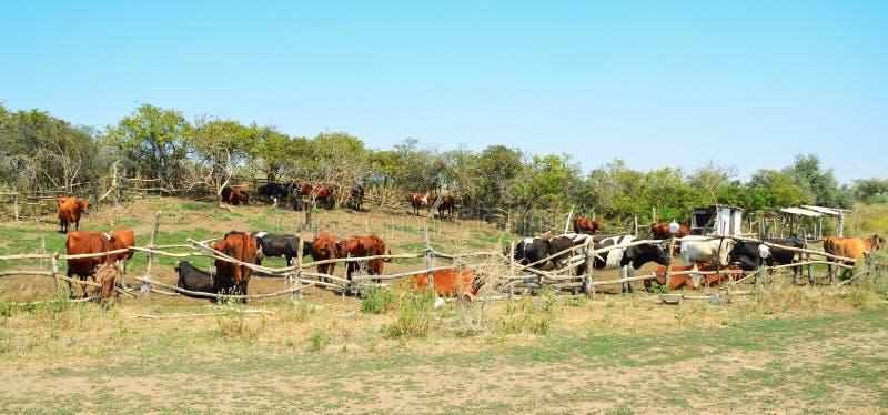 Kor i betafållan arkivfoton