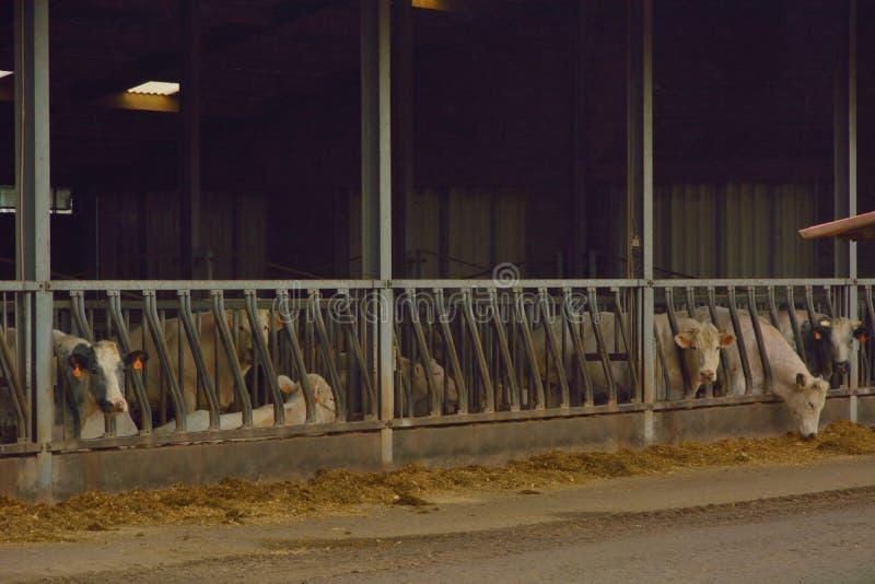 Kor i deras stall royaltyfri bild