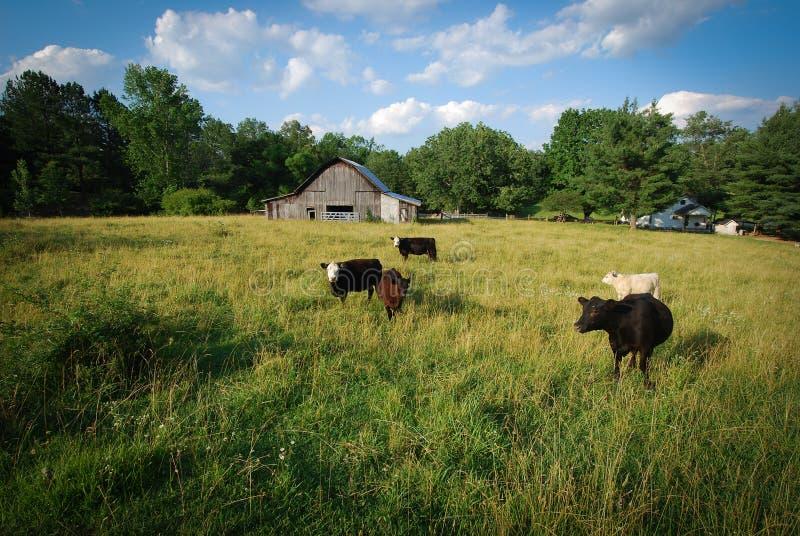 Kor i ett fält arkivfoton