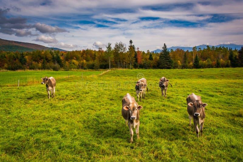 Kor i ett lantgårdfält nära Jefferson, New Hampshire arkivfoton