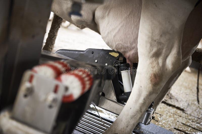 Kor i ett stall arkivbilder