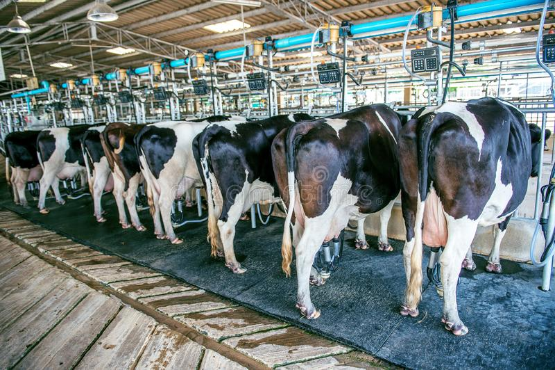 Kor i lantgården, ko som mjölkar lättheten med moderna mjölka maskiner royaltyfria foton