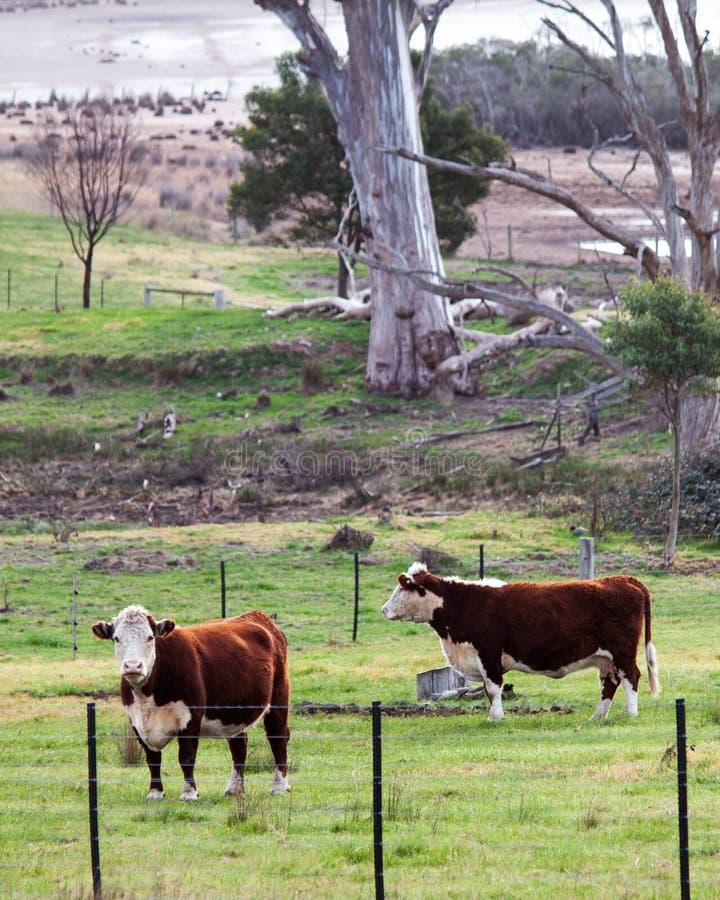 Kor i paddocken royaltyfria bilder