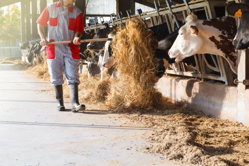 Kor i stor ladugård som äter hö med bonde- och höbaler arkivbild