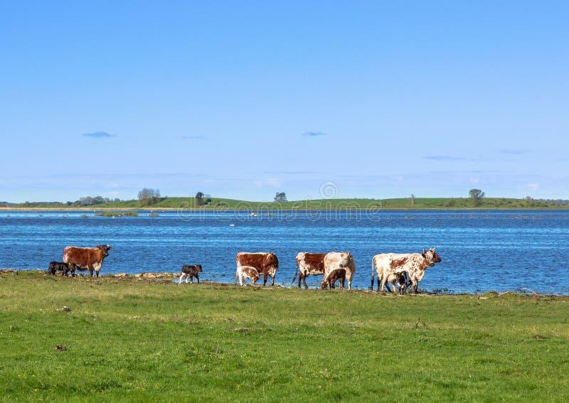 Kor med kalvar på stranden royaltyfri bild