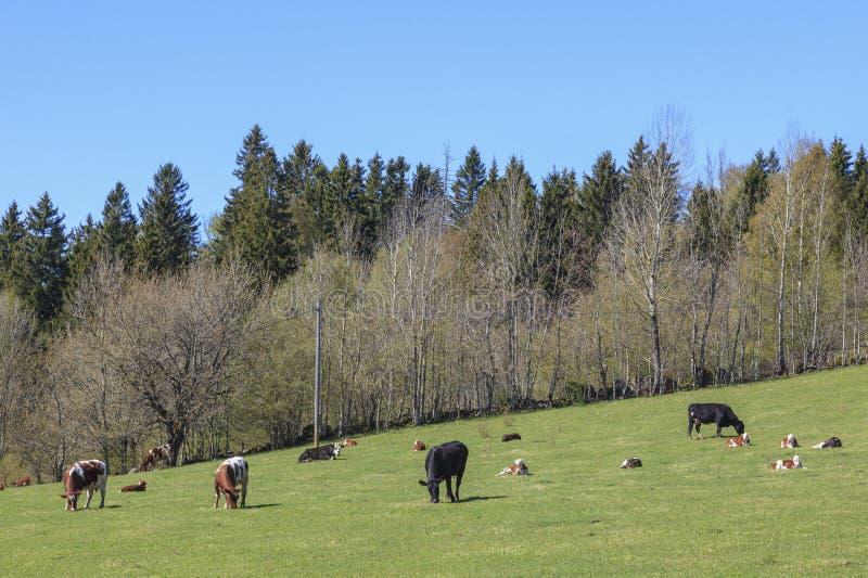 Kor med kalvar på våren royaltyfria foton