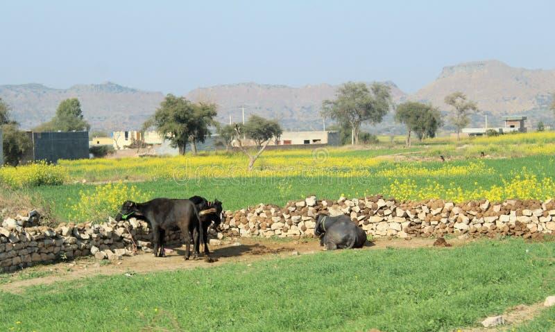Kor och buffel som betar i fälten arkivbilder