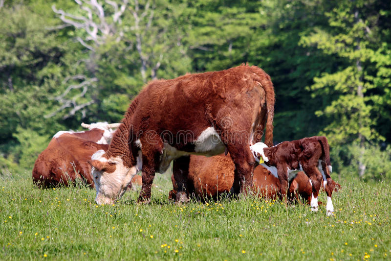 Kor och kalvar royaltyfria foton