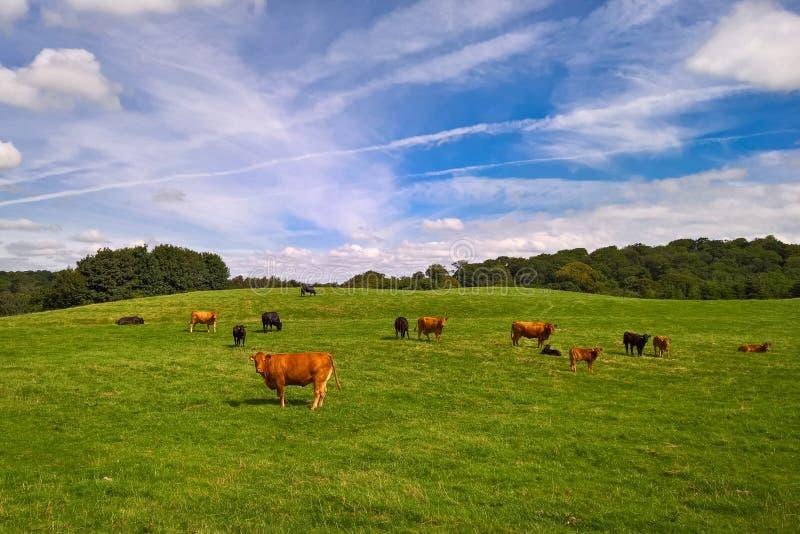 Kor och kalvar i fält royaltyfri foto