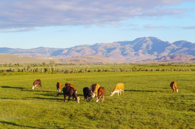 Kor och kalvar som betar i en äng arkivfoton