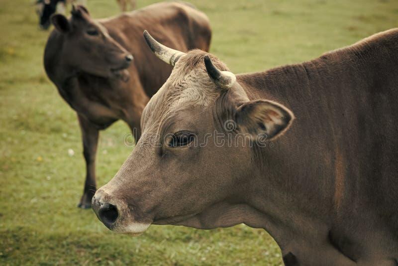 Kor och lantbruk Kött och vegetarian för nötkött för tamdjur för nötköttkött vegetariskt arkivbild