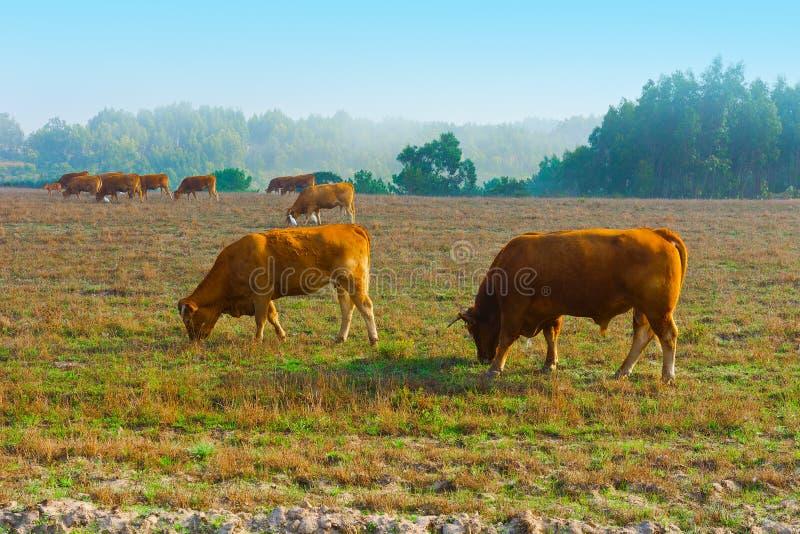Kor och tjurar arkivbilder