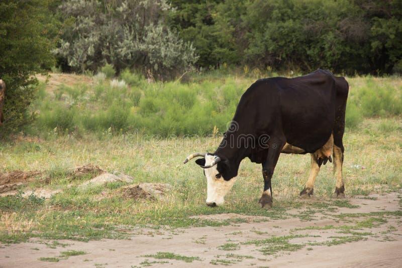 Kor och tjurar betar i ängen och äter gräs arkivbilder