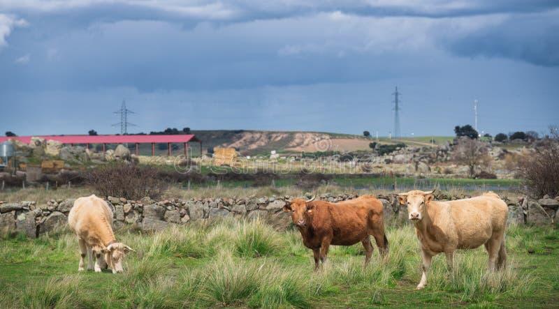 Kor och tjurar betar på, frodigt grönt gräs royaltyfri bild