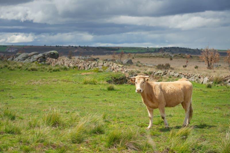 Kor och tjurar betar på, frodigt grönt gräs arkivbilder