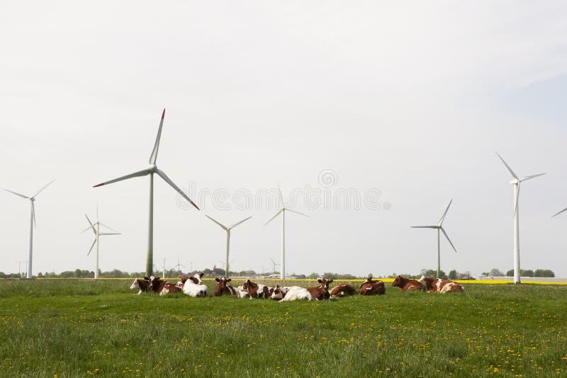Kor och väderkvarnar arkivfoto